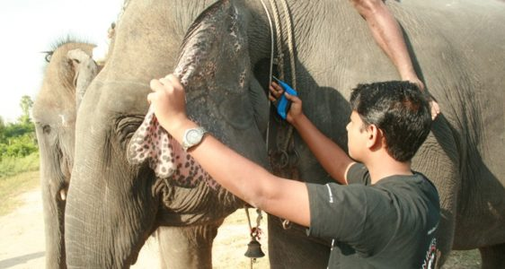 27 Elephants Microchipped by Wildlife Department and Wildlife SOS