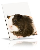 Grooming Guidelines For Your Guinea Pig