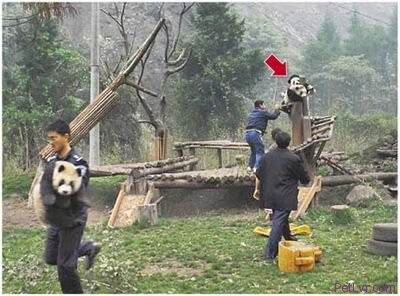 Update On The PANDAS That Survived The China Earthquake In May 2008