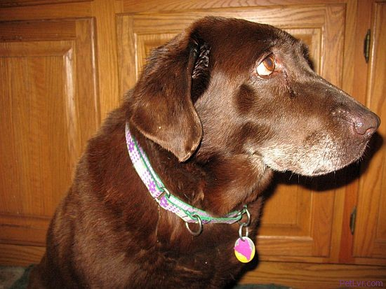 Photo of Hayley, a chocolate Labrador Retriever