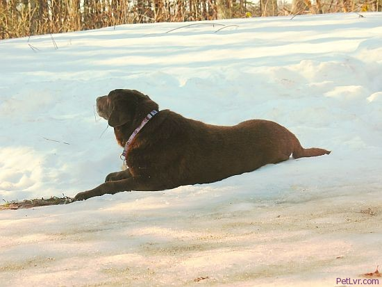 Photo of Hayley the senior Lab in the snow