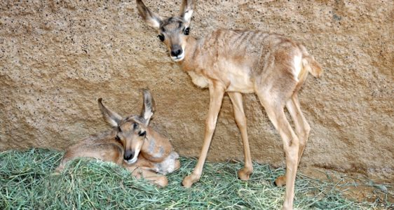 L.A. Zoo Announces Birth of Rare Peninsular Pronghorns