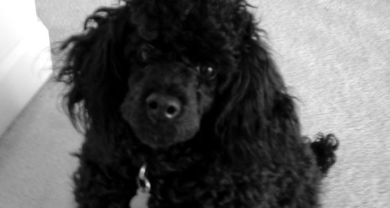 REWARD ($10,000) – Missing Black Toy Poodle – Chambersburg, PA – PASS IT ON