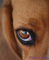 Signs of and First Aid for a Pet's Minor Eye Injury