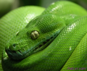 How to Find a Lost Snake, Pet Lizard or Other Reptile in Your House