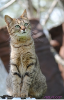 How to Determine if a Stray or Feral Cat has an Infected Spay/Neuter Incision