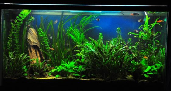 a freshwater tropical fish aquarium
