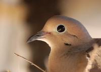 Why Doves Make Good House Pets