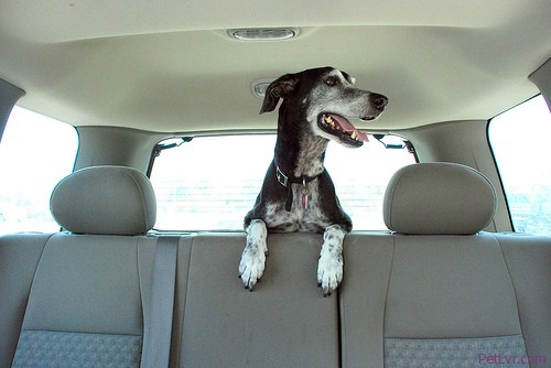 Why Pet Seatbelts May Be A Good Investment For Pet Owners