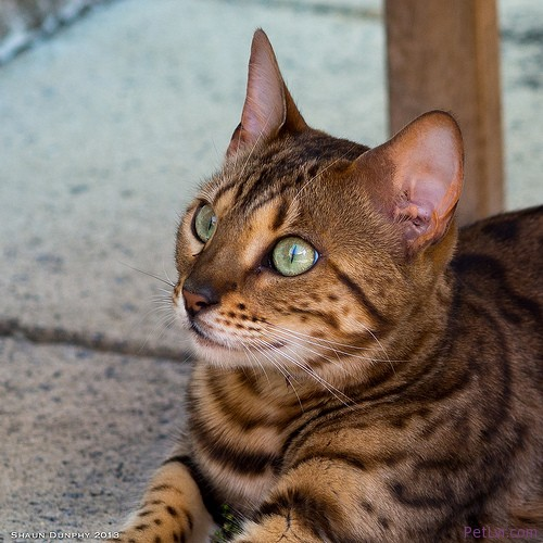 4 Popular Cat Breeds in the United States