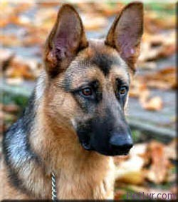 breed_german_shepherd