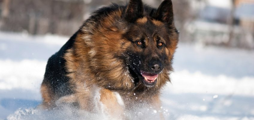 Welcoming The Colossal German Shepherd In Your House