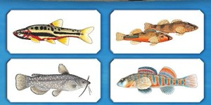 2015 Freshwater Fishes Wall Calendar