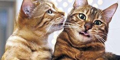 2016-Why-Cats-Do-That-Wall-Calendar-0