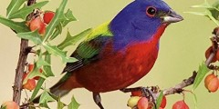 Backyard Birds 2016 National Geographic Wall Calendar