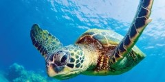 Hawaiian Sea Turtles – Hawaii 2014 Deluxe Wall Calendar – Photography by Michael and Monica Sweet