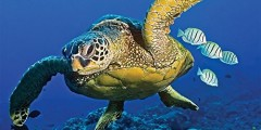 Sea Turtles 2016 Wall Calendar