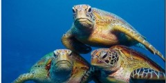 Sea Turtles Calendar (Multilingual Edition)