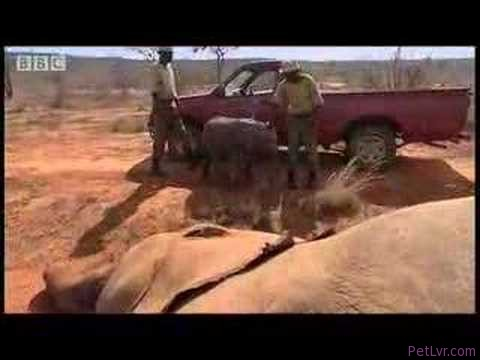 Baby elephant animal rescue – BBC wildlife