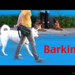 Barking- Episode 3 – barking on a walk -dog training