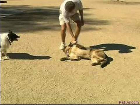 Basic Dog Training Tips : How to Train a Dog to Rollover