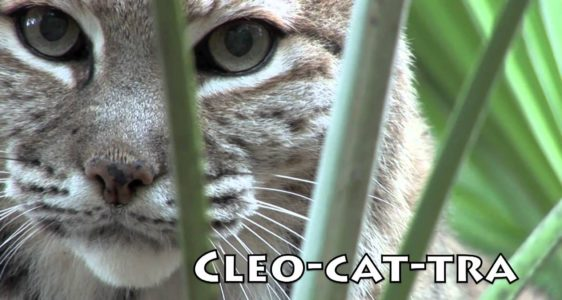 BOBCATS of Big Cat Rescue