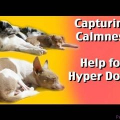 Capturing Calmness- help for hyper dogs-dog training