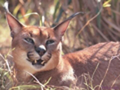 CARACAL Species Spotlight – Big Cat TV
