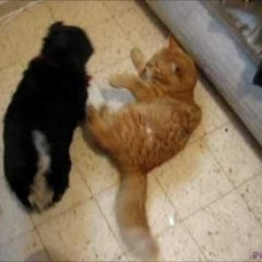 Cat fights Dog FUNNY! Animals humor