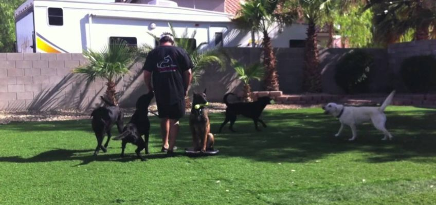 Distraction dog training – heel around your other dogs