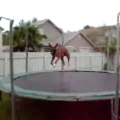 Dog on the trampoline – funny