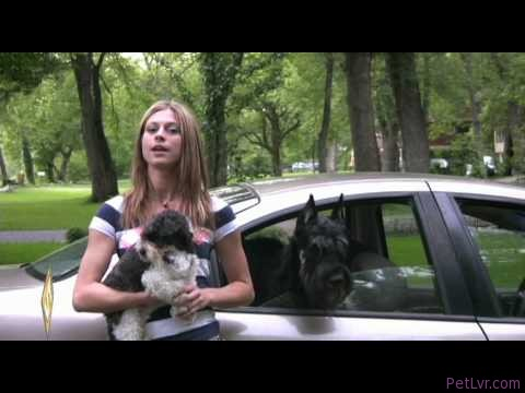 Dog stuck in a hot car – What to do. pet health