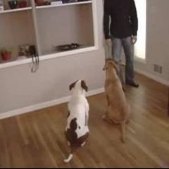 Dog Training Tips : How to Answer a Door with Dogs