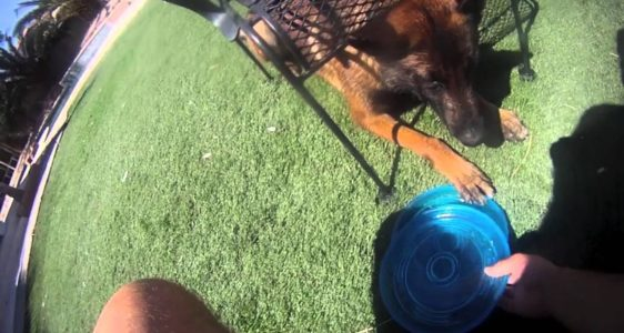 Dog Training – 'Under' command with frisbee reward