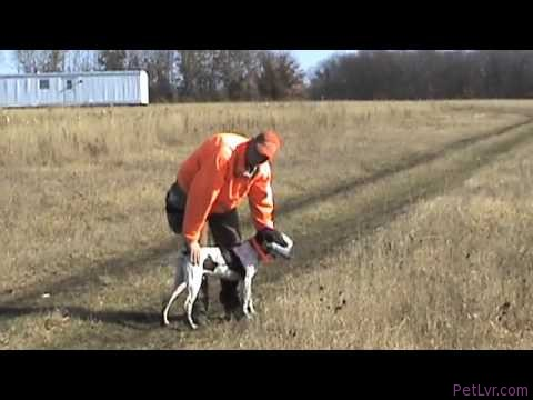 Free Hunting Dog Training Videos – Live Bird Retrieves