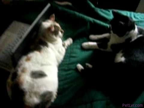 Funny cat video:My 2 pet cats Xavier and Furball (normal,sped up and slow down versions)