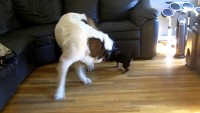 Funny dog video …Rocco eats Teddy's tail