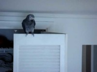"""FUNNY Swearing Parrot: Romeo African Grey *BEST video"""" part 1"""