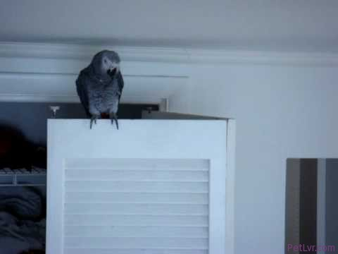 "FUNNY Swearing Parrot: Romeo African Grey *BEST video"" part 1"