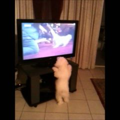 Funny video cute dog barking at TV