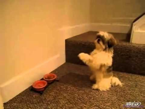 Funny video: Dog prays before eating dinner