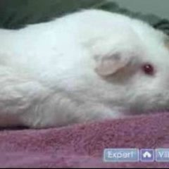 Guinea Pig Care : Introduction to Pet Guinea Pig Care