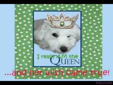 How Miss Lula Matilda, Bichon Poodle, Became the Queen! Cute and funny dog video