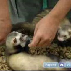 How to Care For a Ferret : Pet Ferret Health Care: Spay, Neuter, Dental