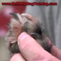 How to Clip Dog Nails – Tips from the Dog Training Guys (k9-1.com)