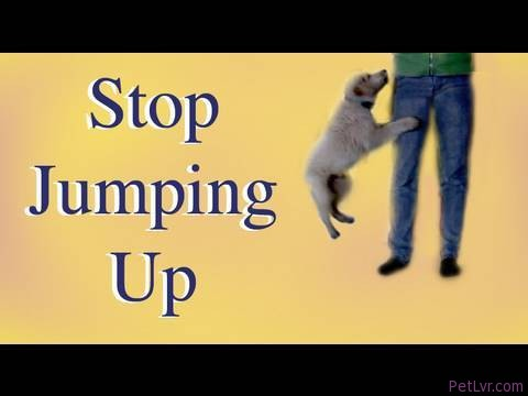 How to stop Jumping up!- clicker dog training