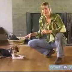 How to Train a Beagle : Learn How to Train Your Beagle to Stay Free Online Dog Obedience Video