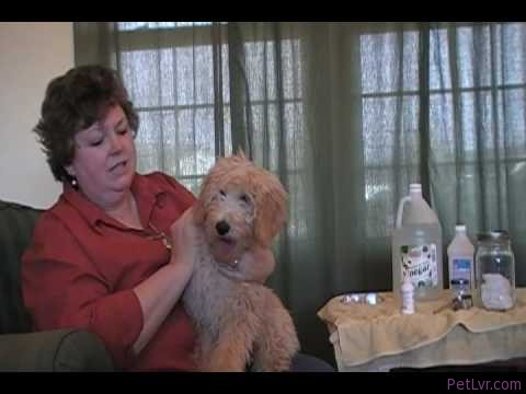 Labradoodles L&G: Labradoodle Ear Care Tutorial