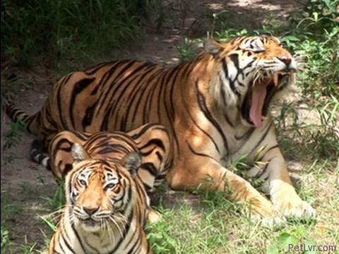 Liger + Tiger + Lion = BIG CAT RESCUE!
