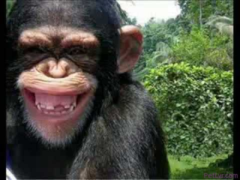 monkey funny video singe drole compilation funniest pet debiloguys viral